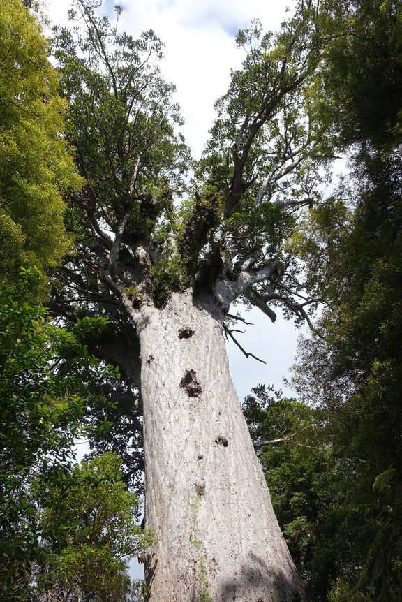 Tane Mahuta is the largest kauri known to stand today and is thought to be between 1,250 and 2,500 years old.