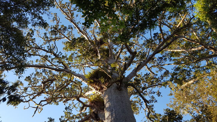 A kauri tree in the Waitakere Ranges.