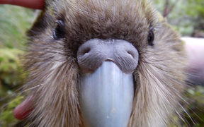 Blake the kākāpō died after a capture, with the cause suspected to have been heat stress.