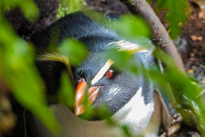 Tawaki or Fiordland crested penguins live in dense forest in southern New Zealand.