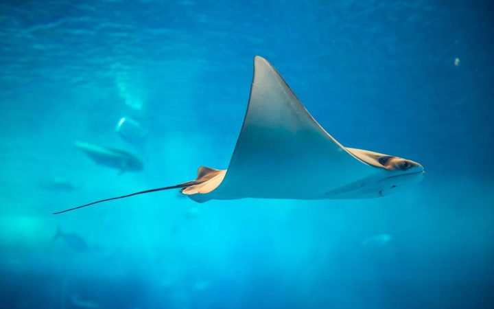 A file photo of a sting ray.