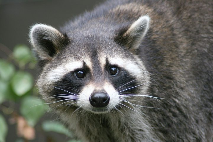 Stock photo of a raccoon.