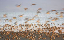 Godwits begin their journey to Alaskan breeding grounds in March.