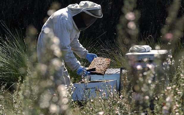 Gathering manuka honey.