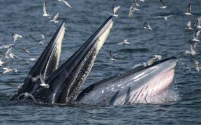 A mother Bryde's whale (front) and her calf.