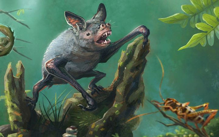 Artist's impression of a New Zealand burrowing bat, Mystacina robusta, that went extinct in the 1960s. The new fossil find is an ancient relative. Illustration by Gavin Mouldey