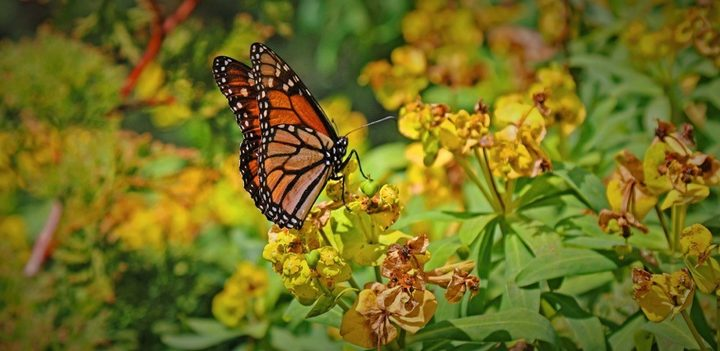 Monarch butterfly in Robin Simenauer's garden