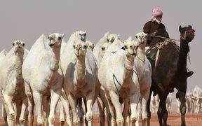 A Saudi man leads camels during a beauty contest as part of the annual King Abdulaziz Camel Festival in Rumah.