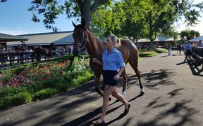 A yearling being paraded around the show ring at Karaka.