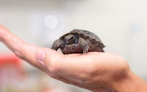 The Galapagos tortoise hatchling is the offspring of first time-parents aged in their 40s.