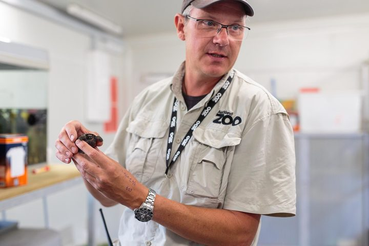 Auckland Zoo's Richard Gibson holding the Galapagos tortoise hatchling.