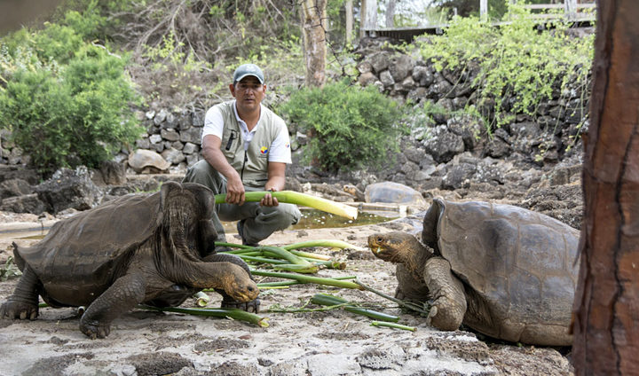 A ranger feeds giant tortoises at Galapagos National Park in Santa Cruz, Galapagos Islands, Ecuador.