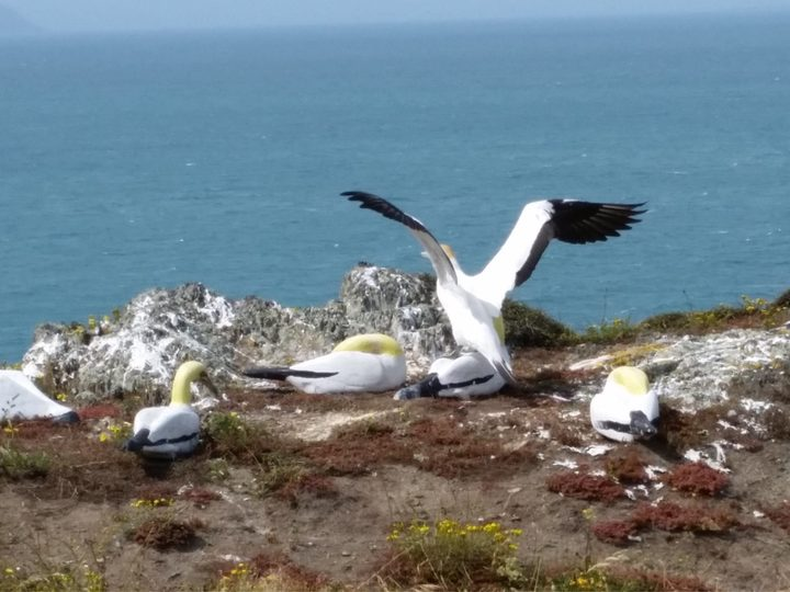 Nigel courts his concrete gannet love on Mana Island.