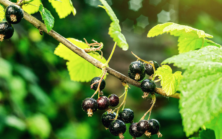 bush of black currant