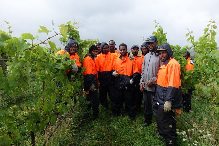 Ni-Vanuatu RSE workers working for contractor Hortus in the vineyard.