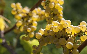 Chardonnay grapes on vine.
