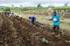 Vanuatu Agriculture Department staff plant sweet kumala cuttings for distribution to farmers
