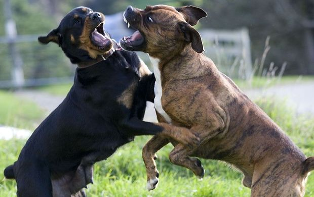 4000 dangerous dogs are registered in New Zealand.
