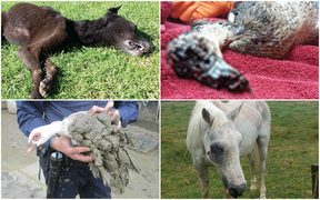 These abused animals were in the SPCA's list of shame.
