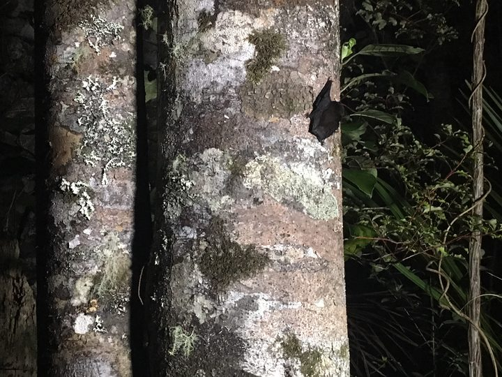 A long-tailed bat is freed to a kauri tree after being trapped and tagged by researchers.