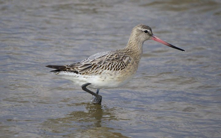 Godwits travel 17,000km from the southern hemisphere to the north, and back every year.