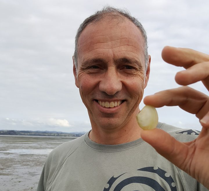 Conrad Pilditch holds a wedge shell, Macomona liliana. These bivalves have an improtant role in moving nutrients around in sandy estuary ecosystems.