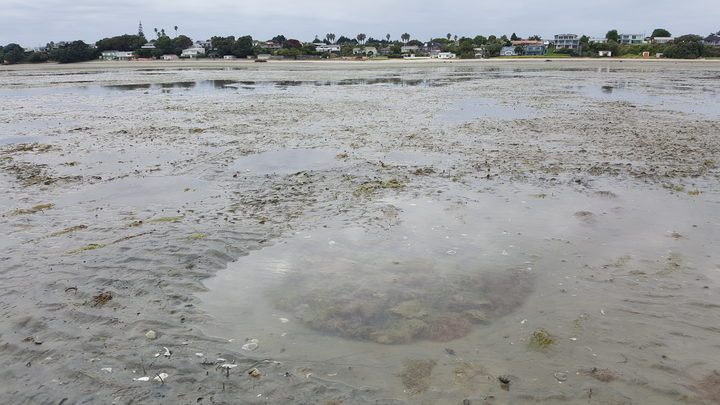 These sandy intertidal flats at Clark's Beach on the Manukau Harbour are home to shells, worms and microbes. The round pool of water is a feeding pit made by a sting ray or eagle ray.