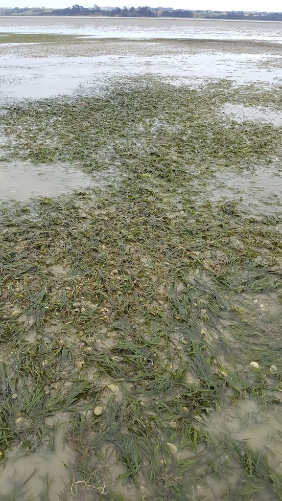 Seagrass is an important plant that grows on intertidal mud and sand flats, and is able to cope with being out of the water at low tide.