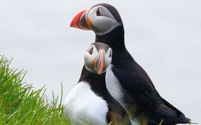 Puffin couple, and traditional Icelandic food source, on Grimsey Island
