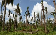 A resident of the town of Jaro builds his house next to destroyed coconut trees, 15 million of them blew down in the typhoon.