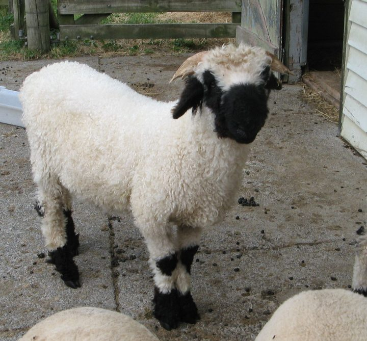 cute and placid swiss sheep introduced to nz rnz