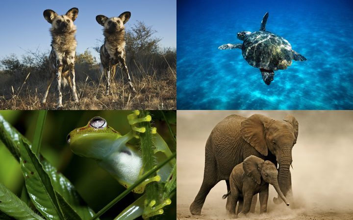 The Amazon frog, African elephant, turtles and African wild dogs are all at risk of extinction as global temperatures rise.