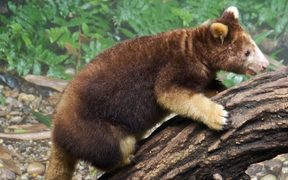 Tree Kangaroos are hunted for meat and pelt in PNG