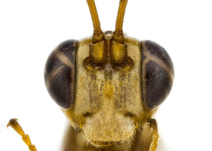 Lusius malfoyi, a parasitoid wasp described by Harry Potter fan Tom Saunders.