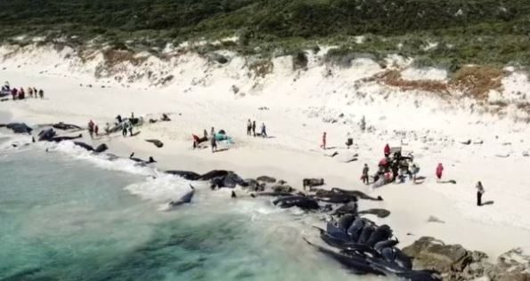 Only six whales have survived a mass stranding of pilot whales on the coast of Western Australia