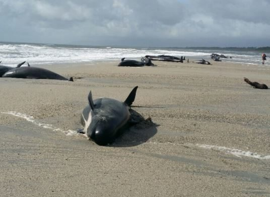 Twelve remaining stranded pilot whales euthanised