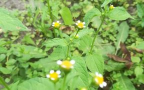 Galinsoga parviflora (gallant soldier) – a soft herbaceous plant that that will always pop up on bare ground.