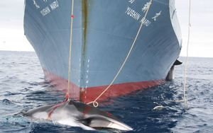 A whale is dragged on board a Japanese ship after being harpooned in Antarctic waters.
