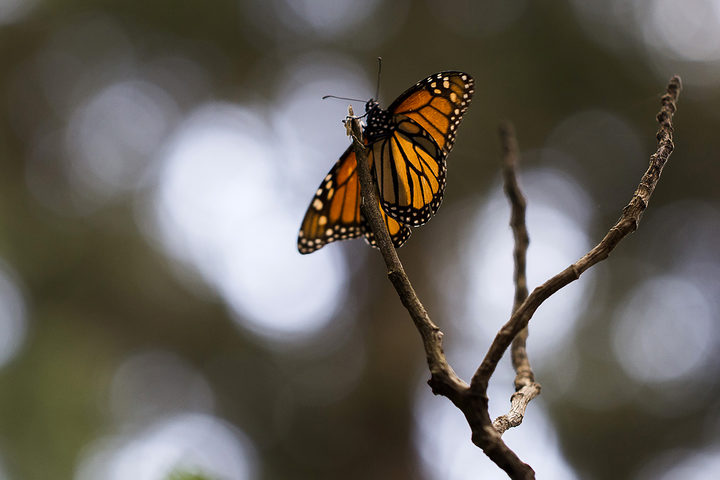 Monarch butterfly (Danaus plexippus) in the forest of, Ocampo municipality, Michoacan state, Mexico.Millions of the butterflies arrive each year to breed, after travelling more than 4500km from the United States and Canada.