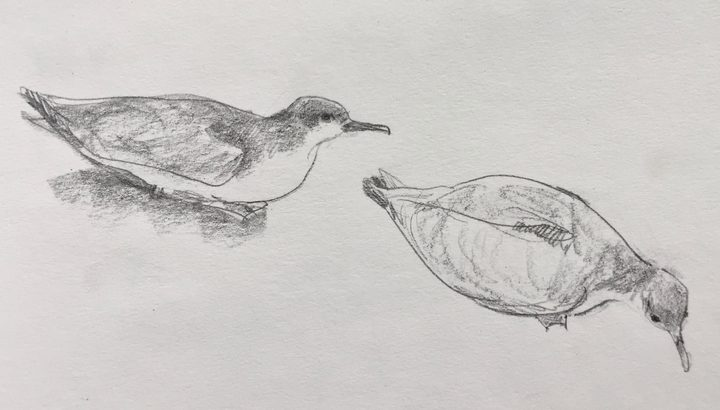 Buller's shearwaters sitting on the forest floor, sketched by Abby McBride