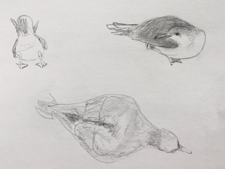 Sketches of Buller's shearwaters on the forest floor, by Abby McBride