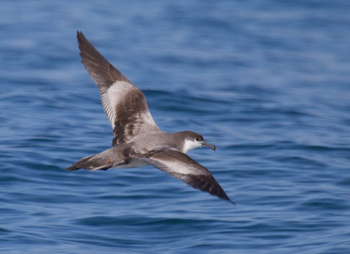 Buller's shearwater in flight