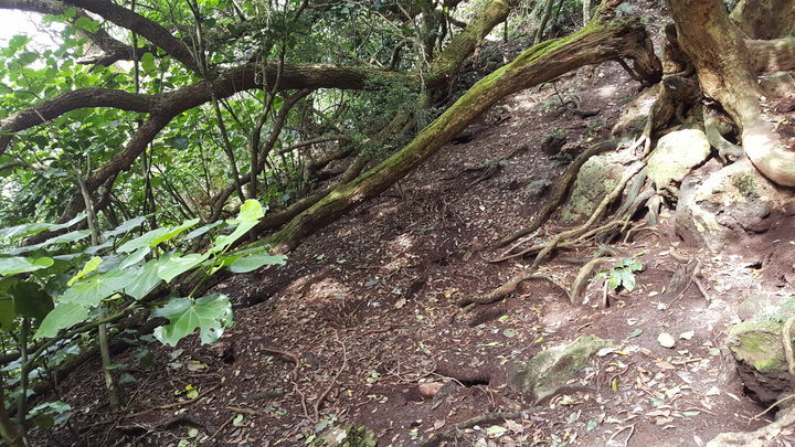 Forest floor on the Poor Knights Islands honeycombed with Buller's shearwater burrows.