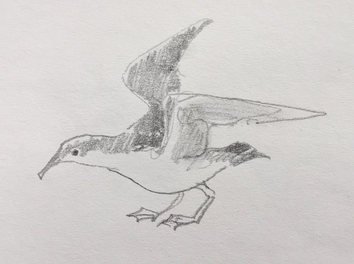 Abby McBride's sketch of a Buller's shearwater with its wings raised, about to take off.