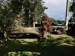 A tree that was toppled by the winds at Three Kings school in Auckland.