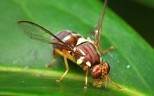 The Queensland fruit fly (Bactrocera tryoni).