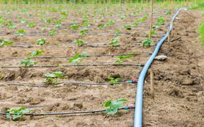 cucumber field growing with drip irrigation system in the countryside