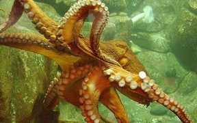The common New Zealand octopus