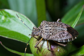 Stink bug (Eocanthecona  furcellata) on green leaves.