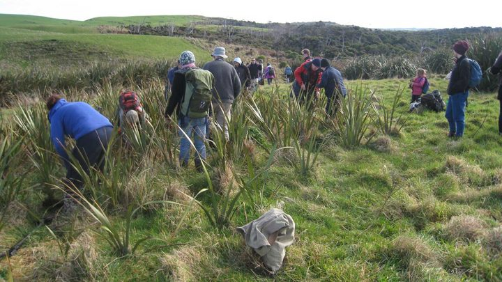 Volunteers digging flax for transplanting at Te Rere